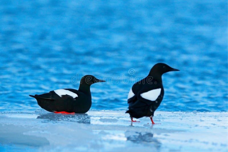 Guillemot noir, grylle de Cepphus, oiseau d'eau noir avec les jambes rouges, se reposant sur la glace avec la neige, animal dans  photo libre de droits