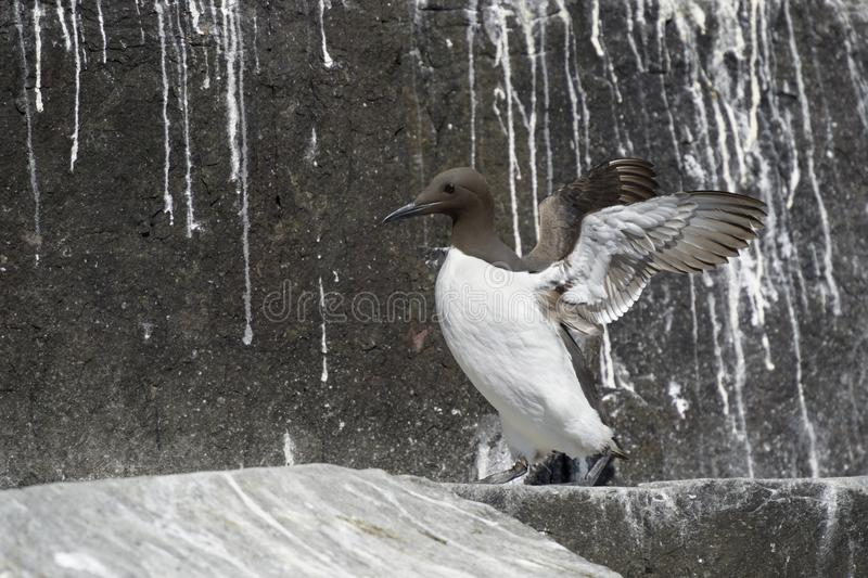 Guillemot {Uria aalge} on cliffs. Flapping wings, Farne Islands, Northumberland, England, UK stock photos