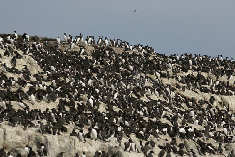 Guillemot, Uria aalge. Group of birds on rock, Northumberland stock photography
