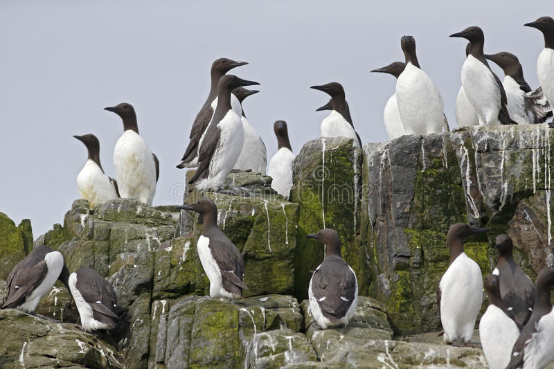 Guillemot, Uria aalge. Group of birds on rock, Northumberland, May 2014 stock photos