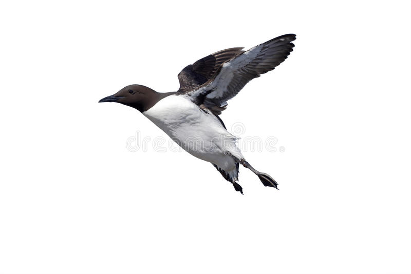 Guillemot, Uria aalge. Single bird in flight, Northumberland, May 2014 royalty free stock photos