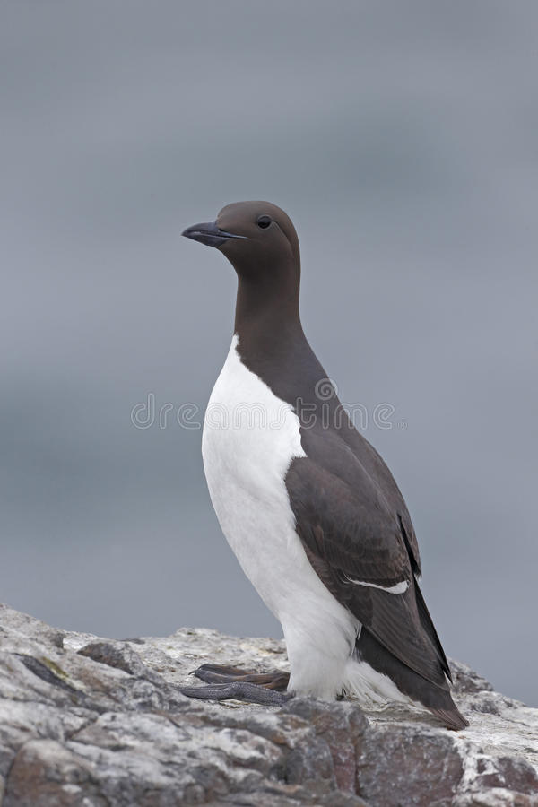Guillemot, Uria aalge. Single bird on rock, Northumberland, May 2014 royalty free stock images