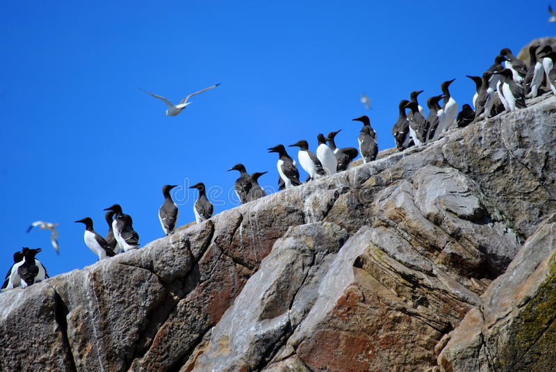 Download Guillemots stock photo. Image of blur, climbing, beak - 24853476