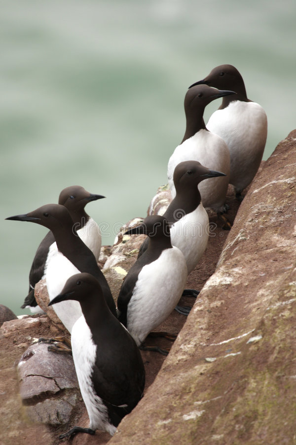 Free Guillemots At Fowlsheugh Royalty Free Stock Images - 4874969