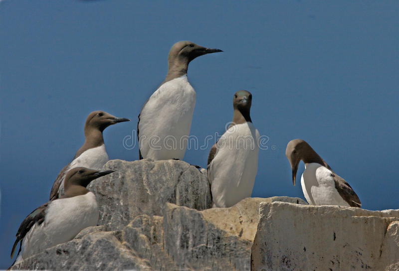 Download Guillemots gather together stock photo. Image of wildlife - 12305336