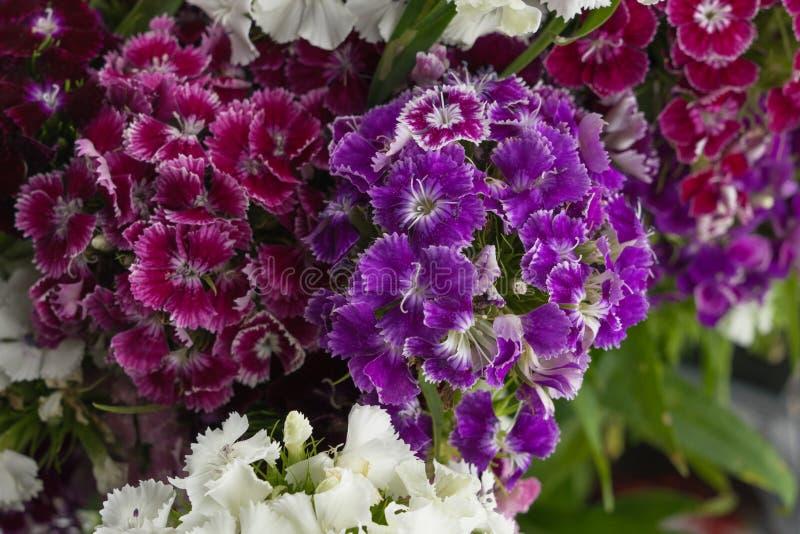 Guillermo dulce púrpura florece el ramo imágenes de archivo libres de regalías