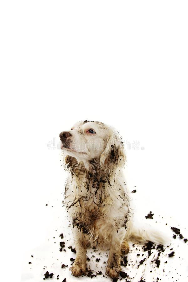 GUILTY DIRTY DOG AFTER PLAY IN A MUD PUDDLE. ISOLATED STUDIO SHOT ON WHITE BACKGROUND.  royalty free stock photos