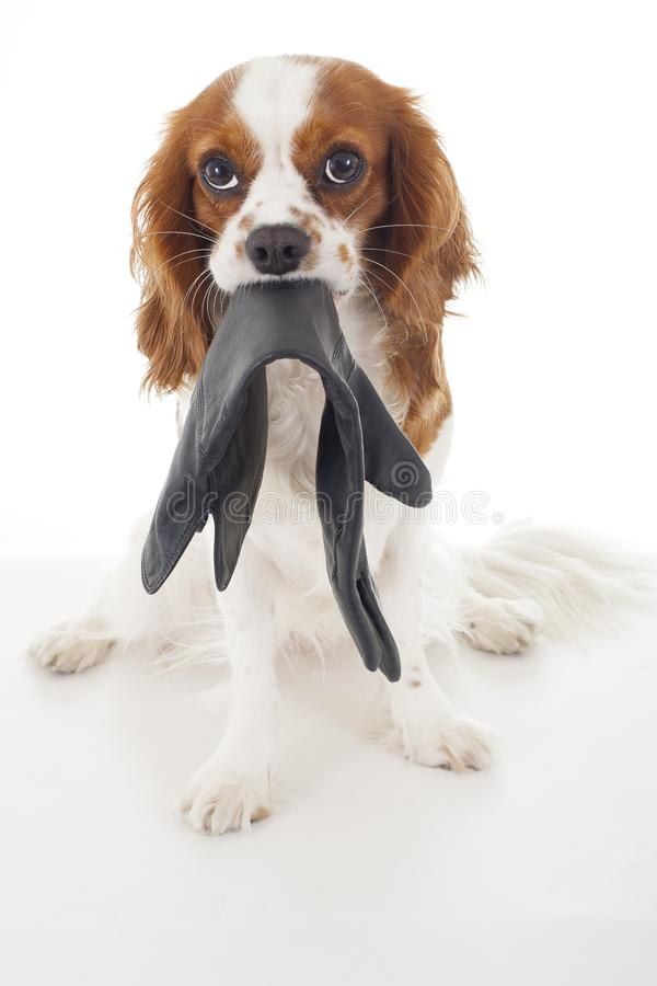 Simple Cavalier Canine Adorable Dog - guilty-dog-face-cavalier-king-charles-spaniel-dog-photo-beautiful-cute-cavalier-puppy-dog-isolated-white-studio-guilty-dog-105499288  Pictures_568060  .jpg