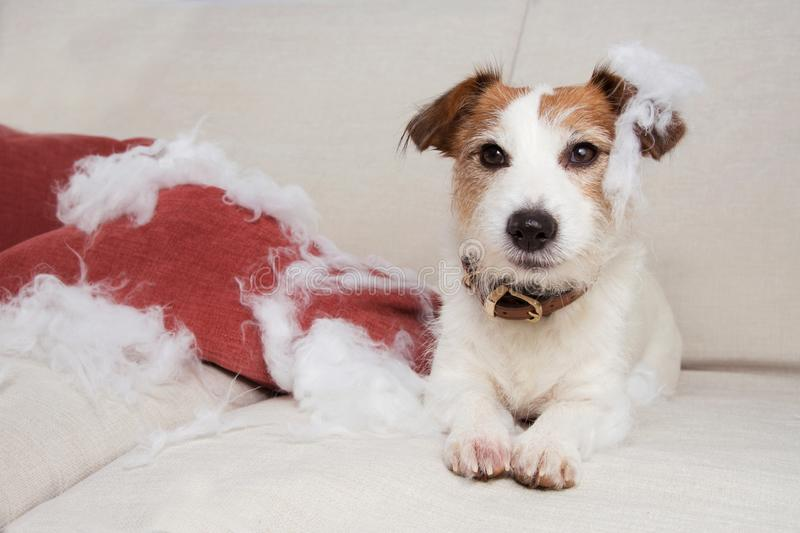 Guilty dog mischief. funny jack russell alone at home after bite and destroy a pillow, sitting over a sofa. separation anxiety. Concept royalty free stock photography