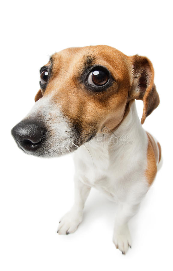 Guilty dog on white. Unhappy looking Jack Russel terrier dog. Guilty dog staring at the camera royalty free stock photo