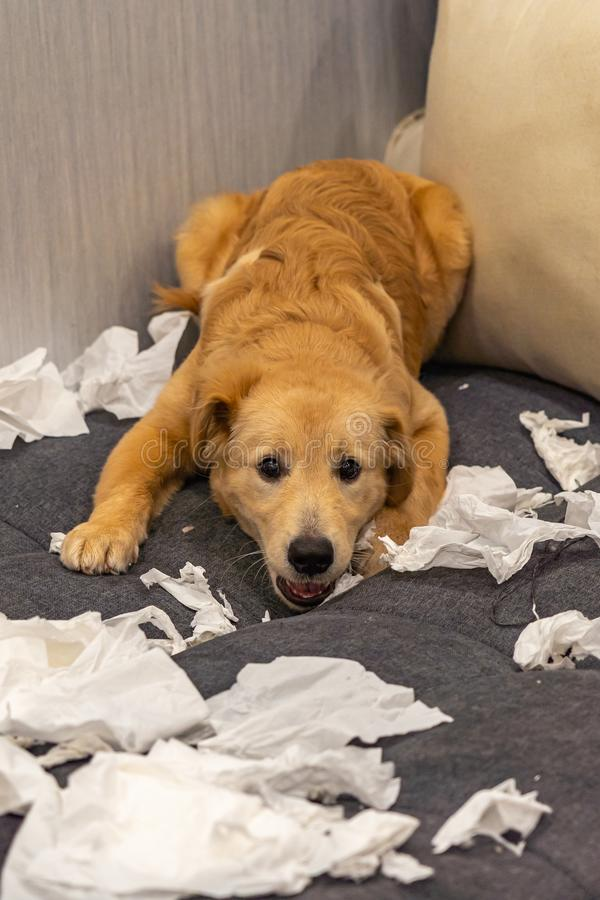 Guilty golden puppy laying with a mess of toilet papers stock photography