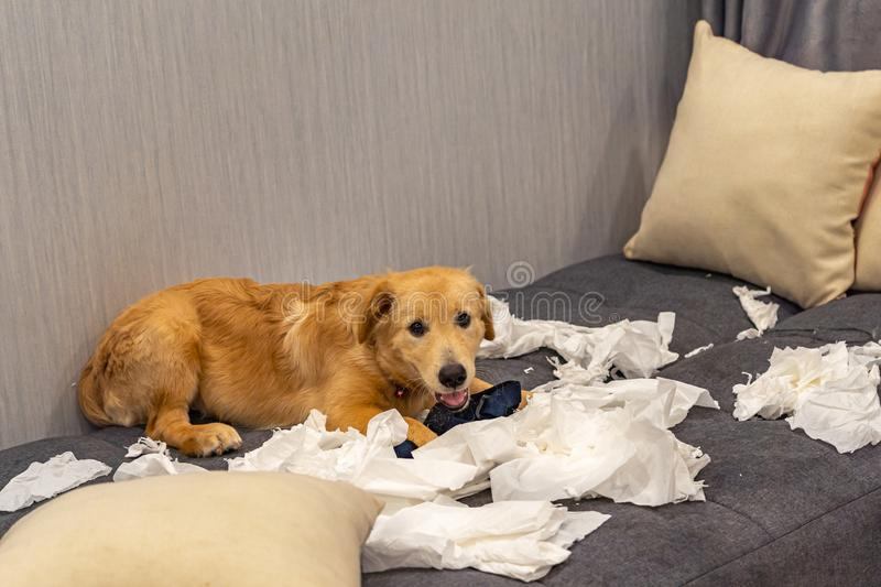 Guilty golden retriever dog playing white toilet papers royalty free stock images