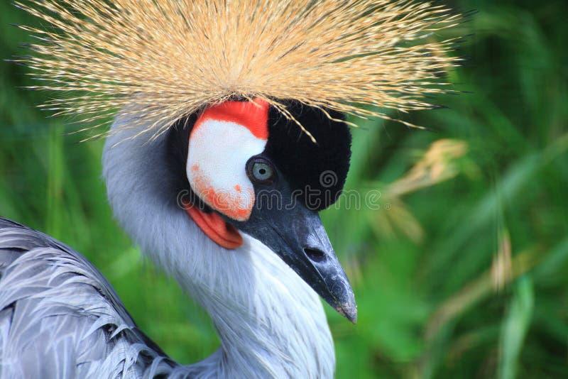 Guindaste coroado africano crested foto de stock