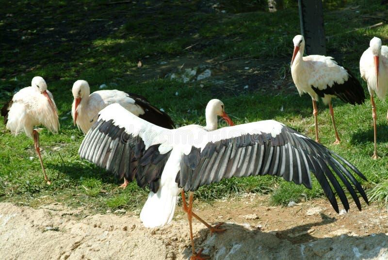 Guindaste, espalhando suas asas, suportes na frente de seus companheiros fotos de stock