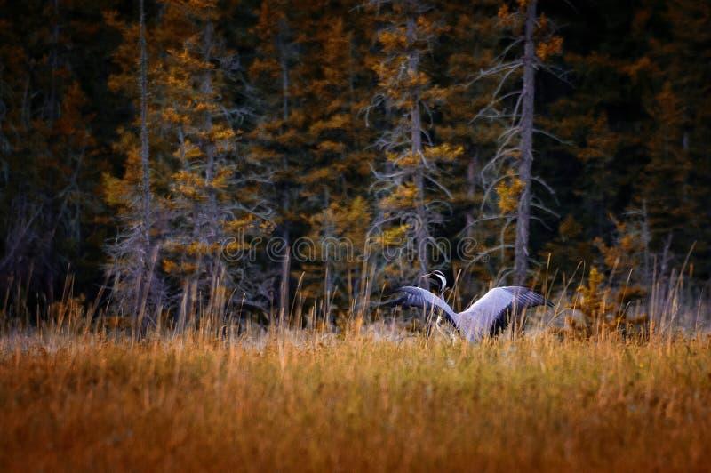 Guindaste na floresta do outono, Rússia, Altai foto de stock