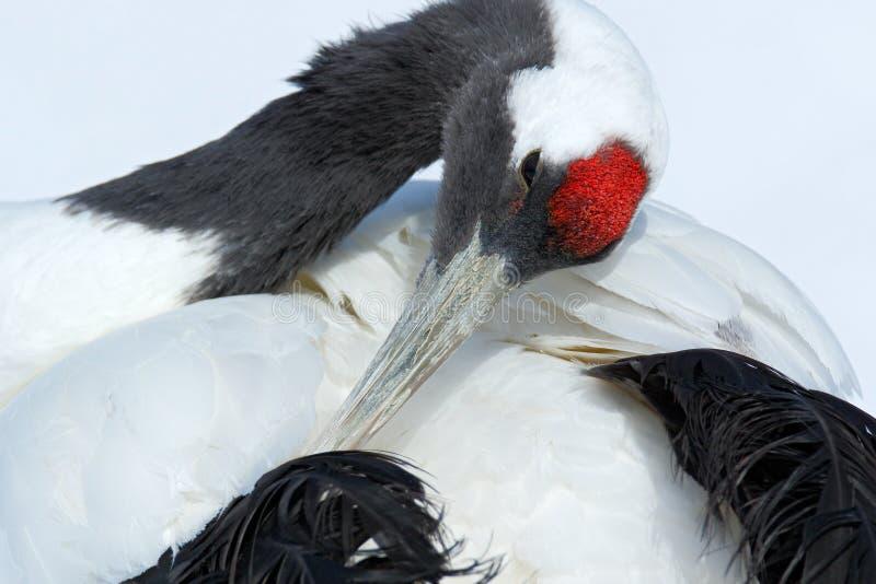 guindaste Vermelho-coroado, japonensis do Grus, retrato principal com branco e plumagem traseira, cena do inverno, Hokkaido, Japã foto de stock