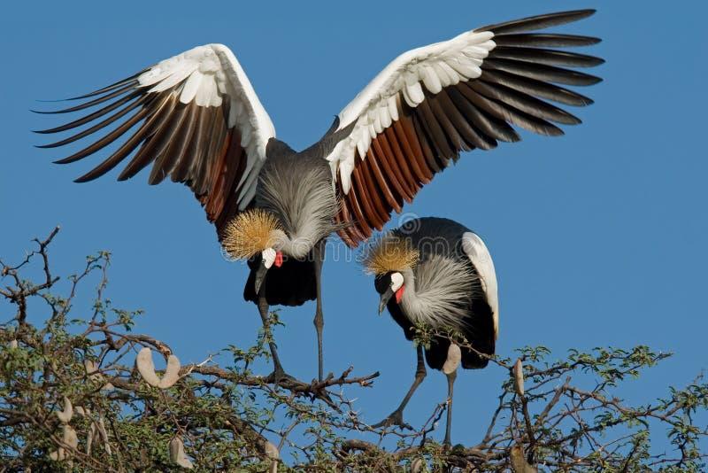 Guindastes coroados, África meridional imagem de stock