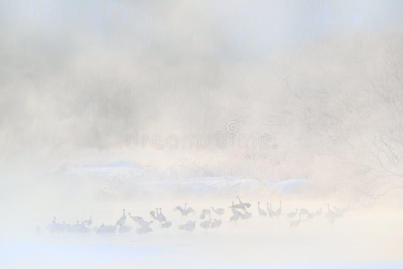 Guindastes de ponte de Otowa inverno Japão com neve Pássaros no rio com névoa, escarcha, neve Dança na natureza Cena dos animais  foto de stock royalty free