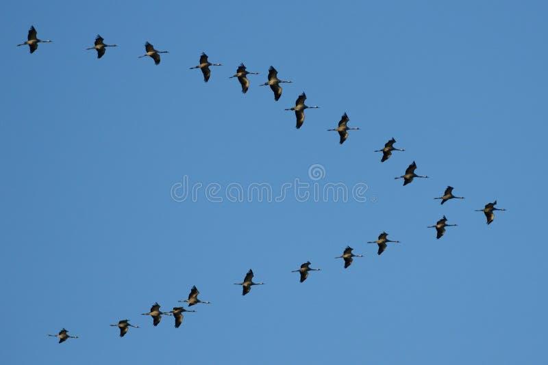 guindastes em voo na v-formação foto de stock royalty free