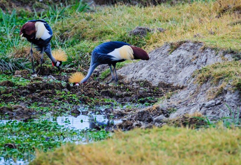 Guindastes na cratera de Ngorongoro imagens de stock