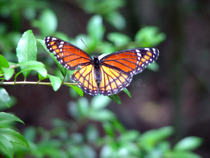 Download Guindineau image stock. Image du papillon, anomalie, insecte - 67875