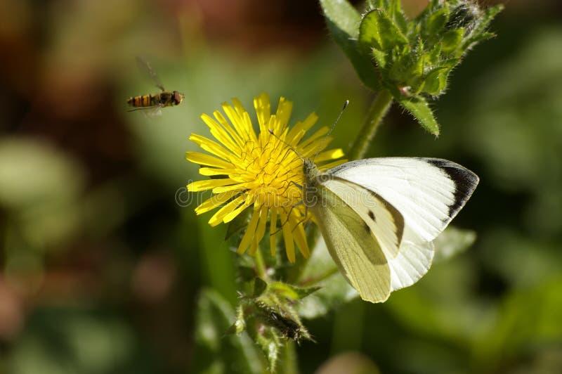 Guindineau, abeille, fleur jaune photographie stock libre de droits