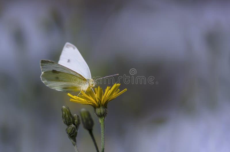 Guindineau blanc sur la fleur image libre de droits