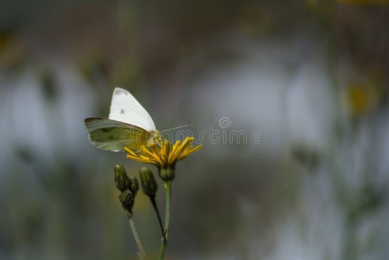 Guindineau blanc sur la fleur image stock