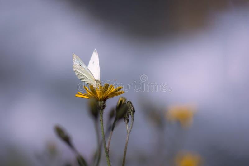 Guindineau blanc sur la fleur photo stock