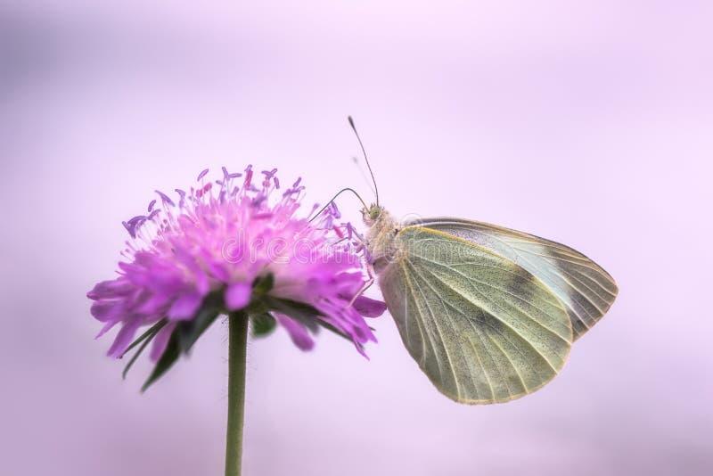 Guindineau blanc sur la fleur photographie stock