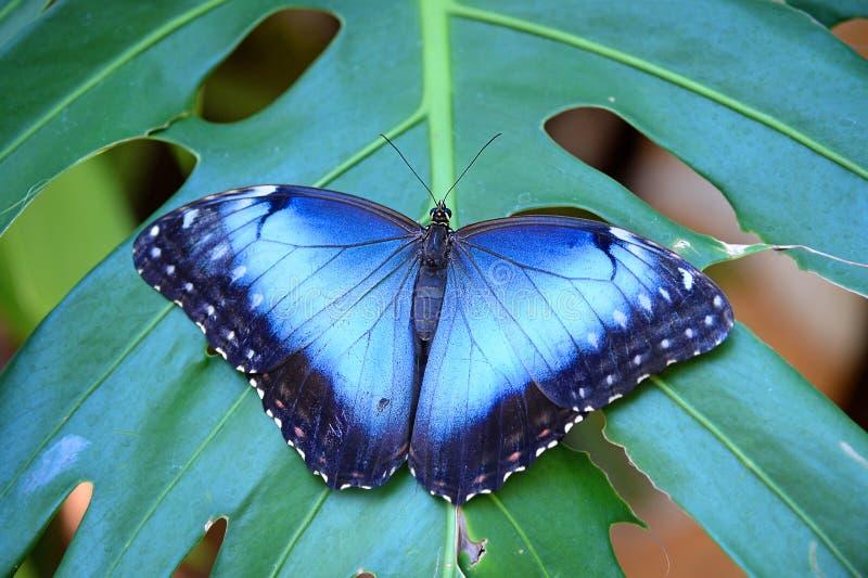 Guindineau bleu de Morpho photos stock