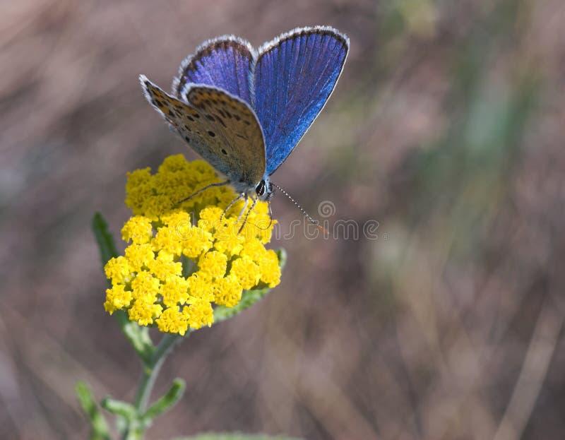 Guindineau bleu sur la fleur jaune photo libre de droits