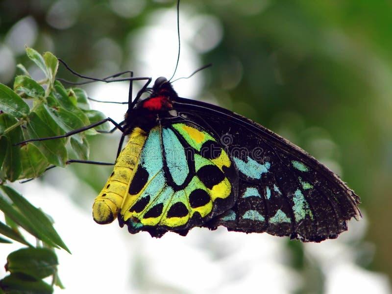 Guindineau de Birdwing photo libre de droits