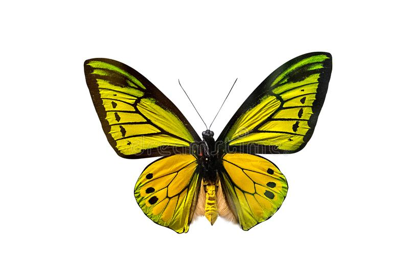 Guindineau de Goliath Birdwing photos stock