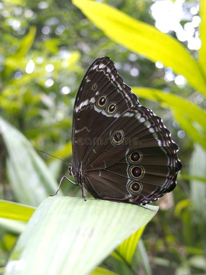Guindineau de hibou, espèces de Caligo, dans la forêt humide d'Amazone , dans la forêt tropicale d'Amazone photographie stock libre de droits