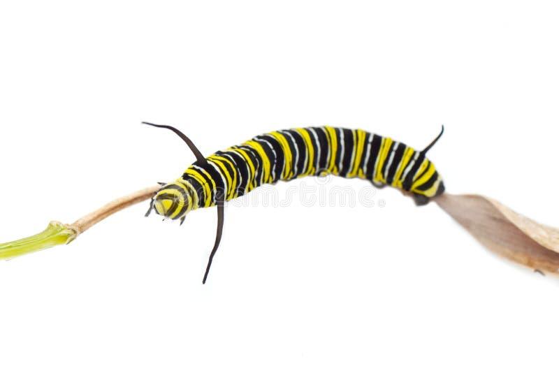Guindineau de monarque Caterpillar images libres de droits