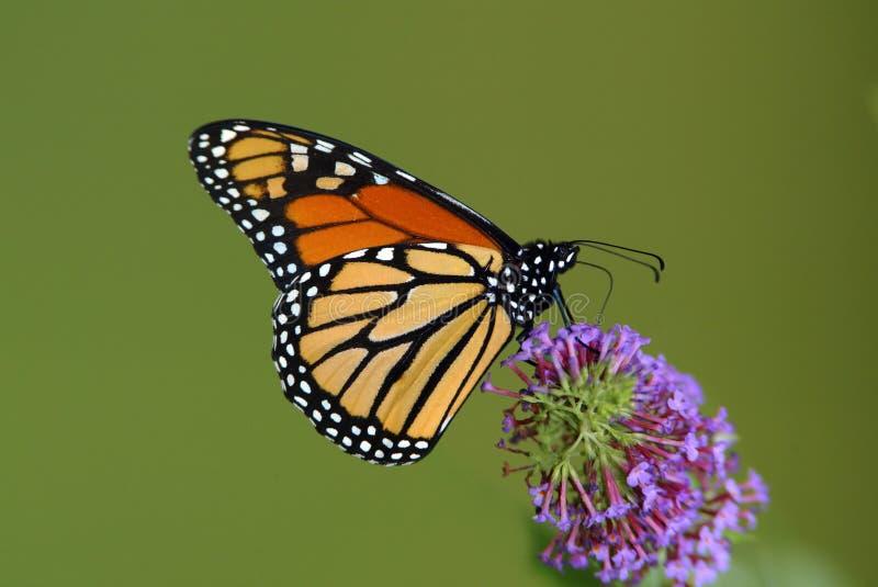 Guindineau de monarque (plexippus de Danaus) photo libre de droits