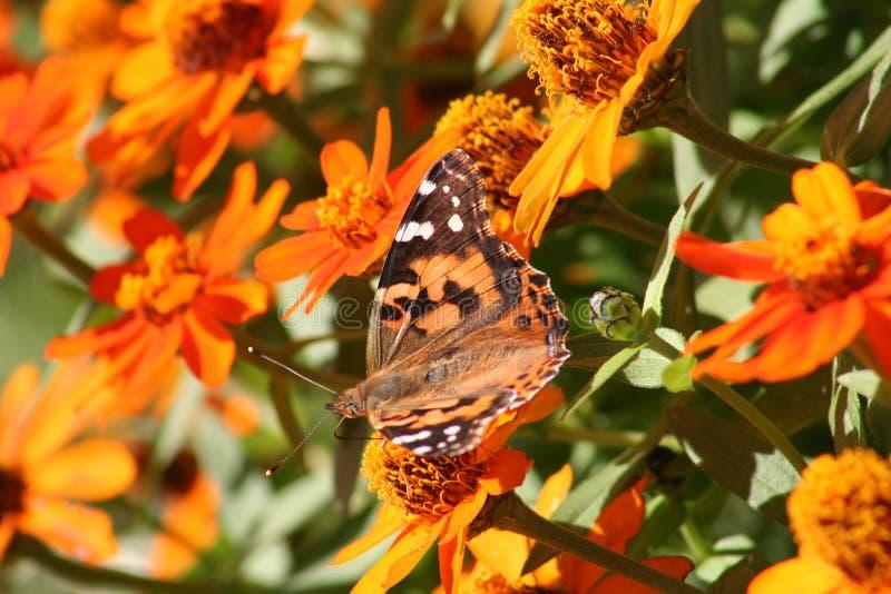 Guindineau de monarque près des fleurs image stock
