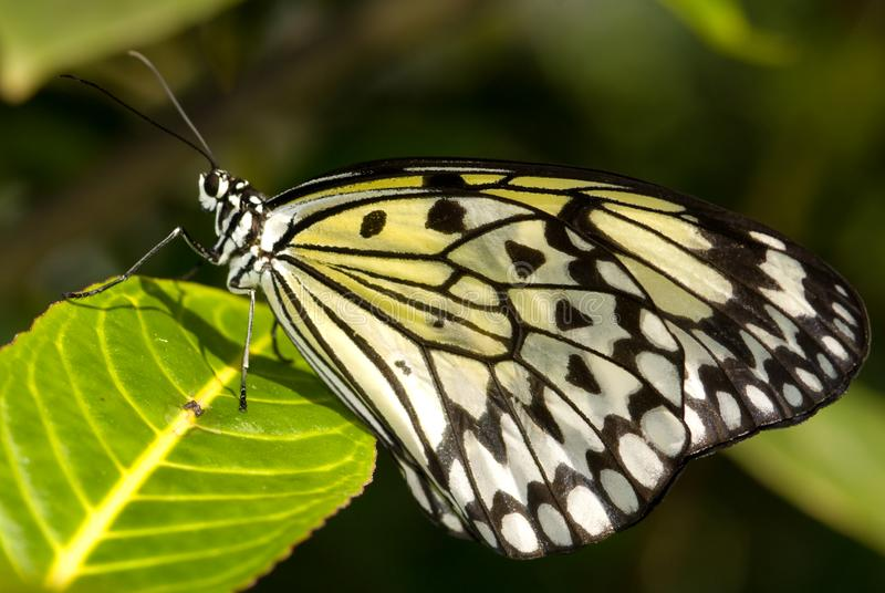 Papillon de nymphe d'arbre (idée Leuconoe) photographie stock libre de droits