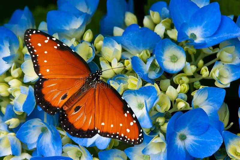 Guindineau de reine sur des fleurs d'hortensia photographie stock libre de droits