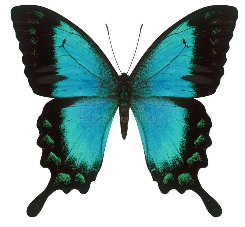 Guindineau de Swallowtail photo stock
