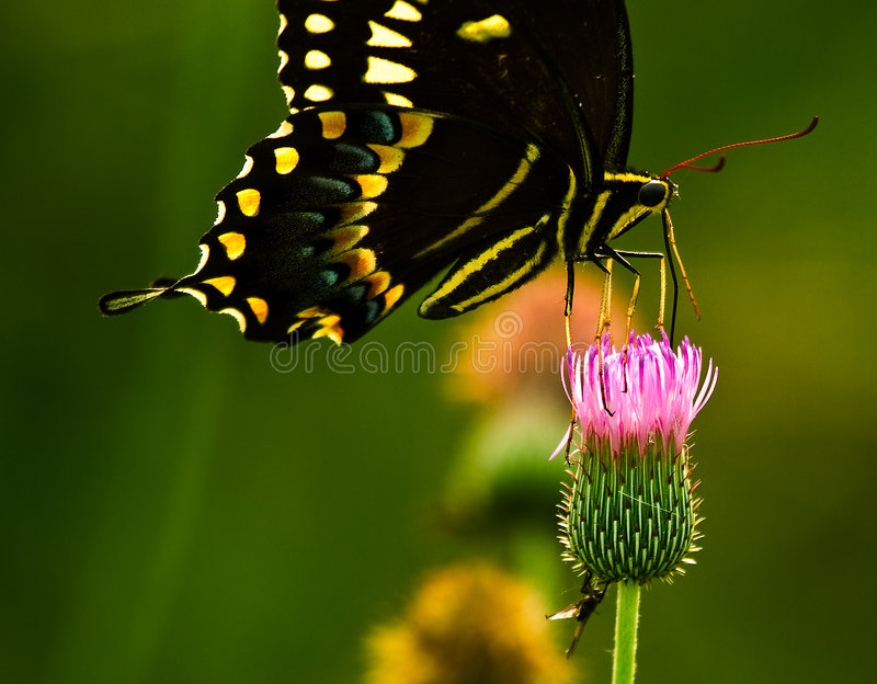 Guindineau de Swallowtail photo stock