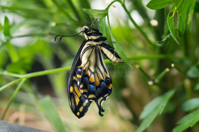 Guindineau de Swallowtail de tigre image libre de droits