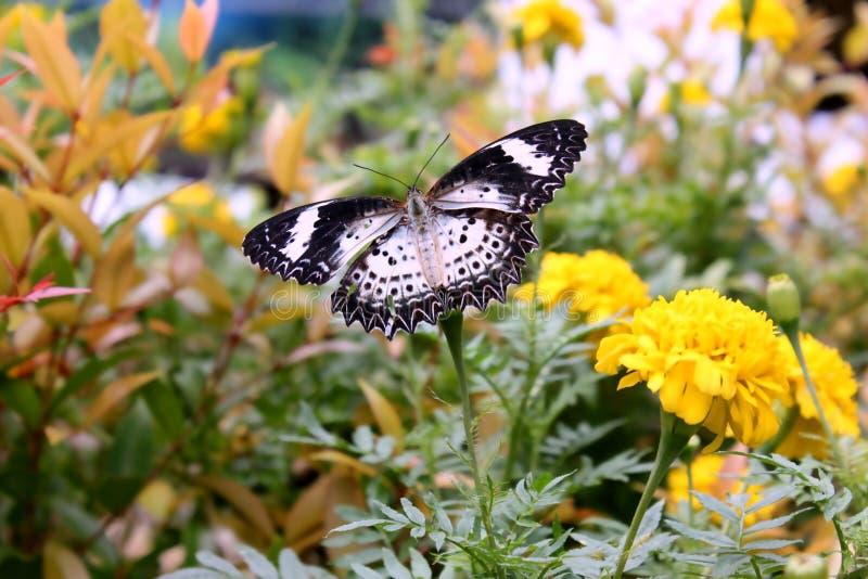 Guindineau en fleurs photo libre de droits