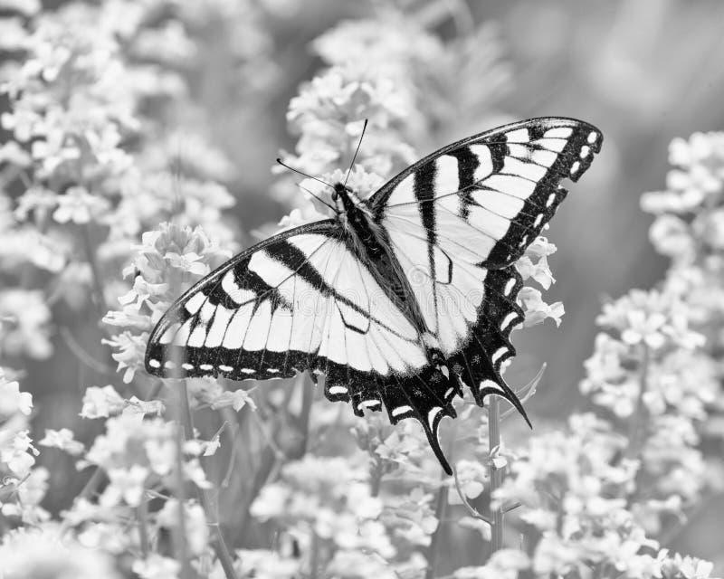 Guindineau en noir et blanc images stock