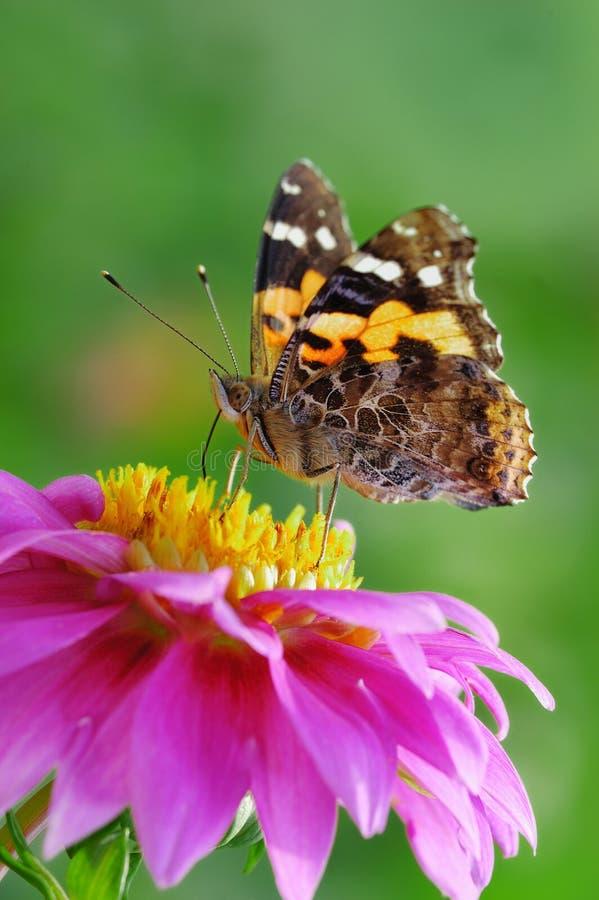 Guindineau et fleur image libre de droits