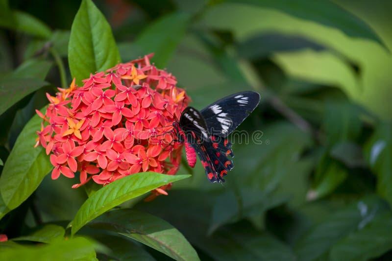 Guindineau : Rose cramoisie dans un jardin de Goa, Mobor, état de Goa, Inde. photos stock