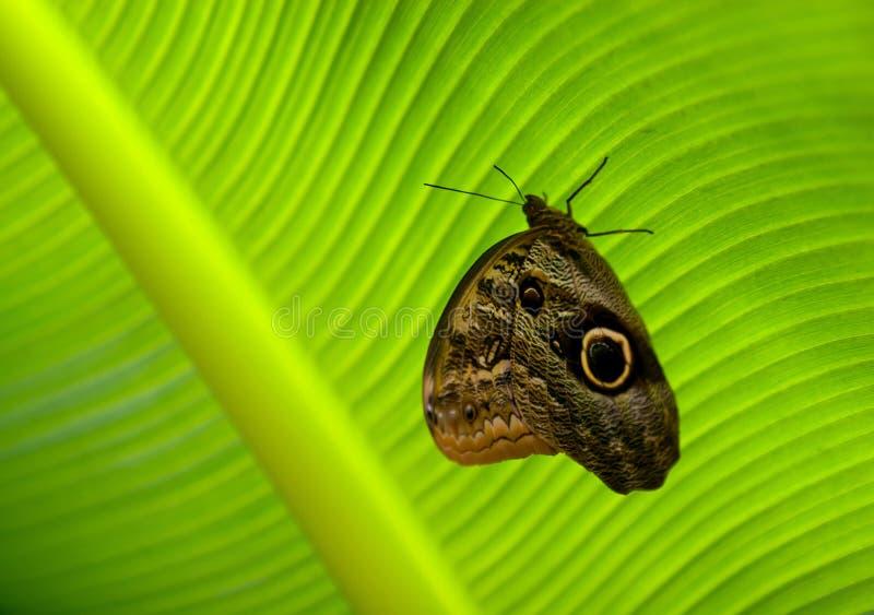 Guindineau se reposant sur la surface d'une lame verte photos libres de droits