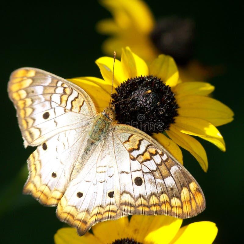 Guindineau sur la fleur images libres de droits