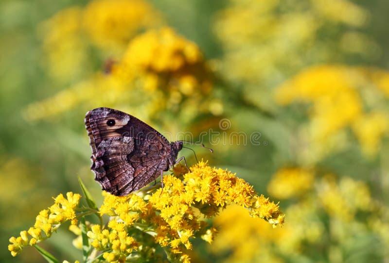 Guindineau sur la fleur jaune photo stock
